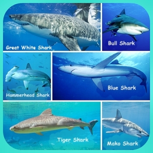 Most known types os sharks.